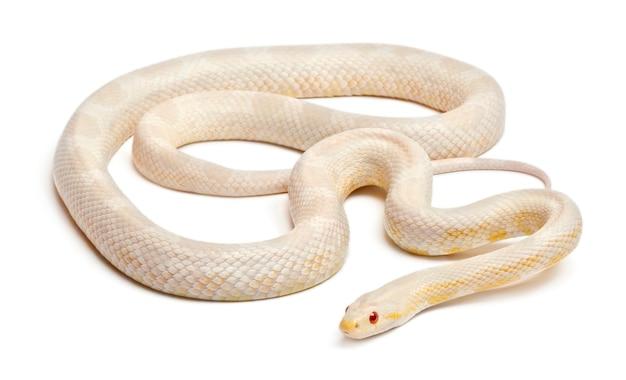 Cobra-do-milho da neve ou cobra-rato vermelha, pantherophis guttatus, na frente do fundo branco