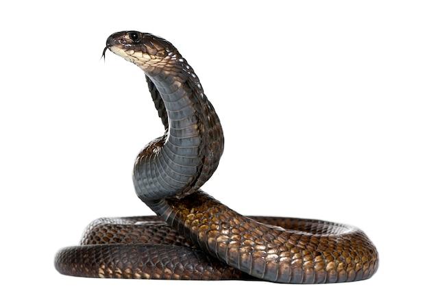 Cobra egípcia, naja haje isolado