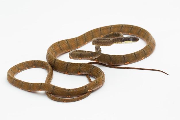 Cobra-gato boiga drapiezii com manchas brancas isolada no fundo branco