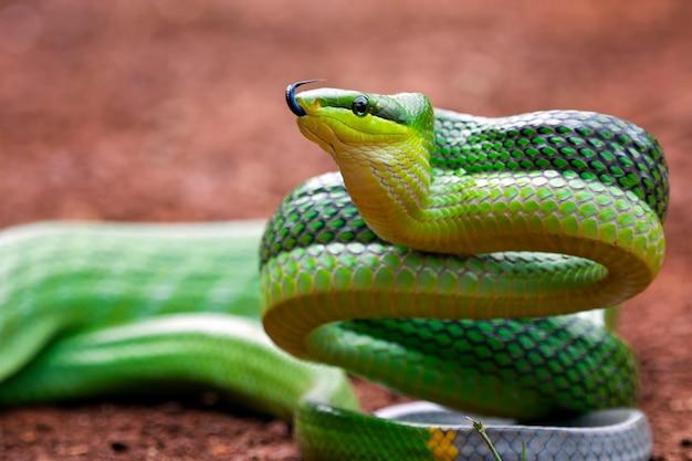 Cobra gonyossoma verde olhando ao redor