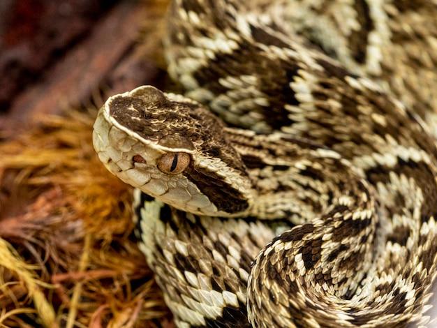 Cobra jararaca (bothrops jararaca). cobra brasileira venenosa.