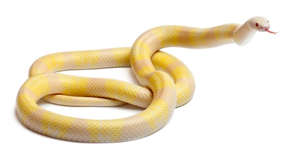 Cobra leiteira hondurenha com contraste amarelo-neve lampropeltis triangulum hondurensis isolada