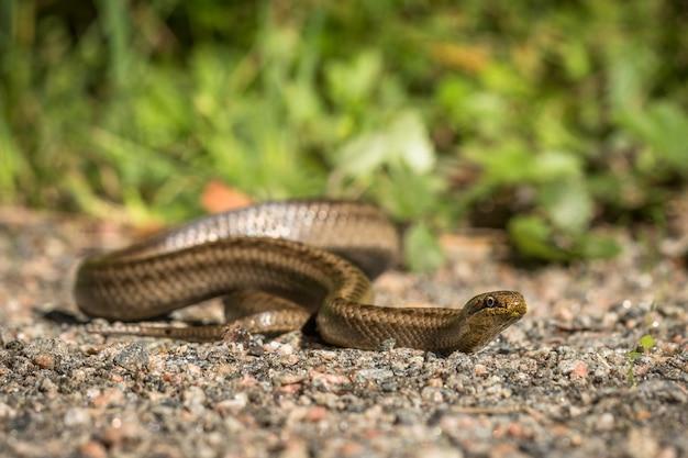 Cobra lisa, coronella austriaca