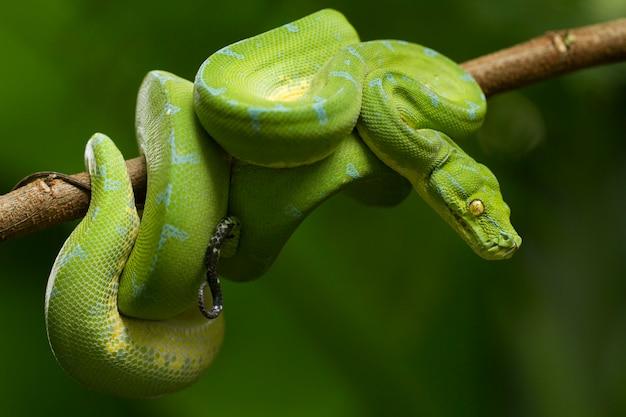 Cobra pitão verde em galho de árvore
