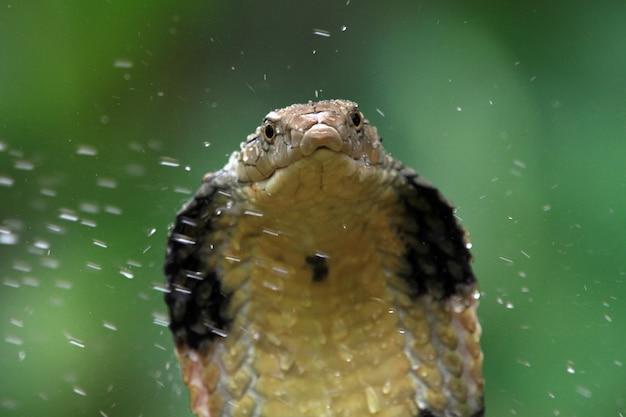 Cobra rei cobra pronta para atacar