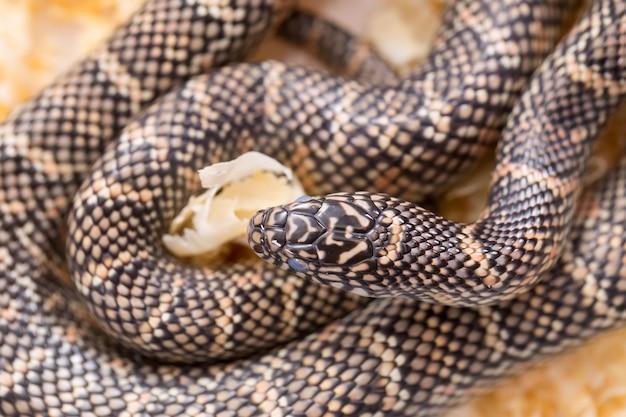 Cobra-rei na floresta na serragem.