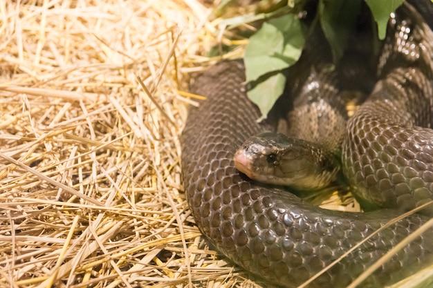 Cobra selvagem perigosa
