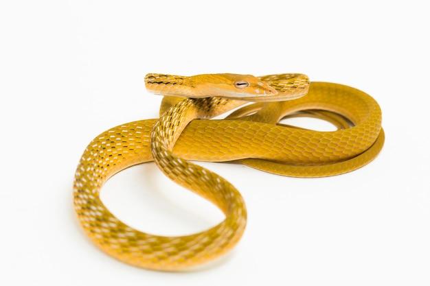 Cobra-trepadeira amarela asiática hypo ahaetulla prasina isolada no fundo branco