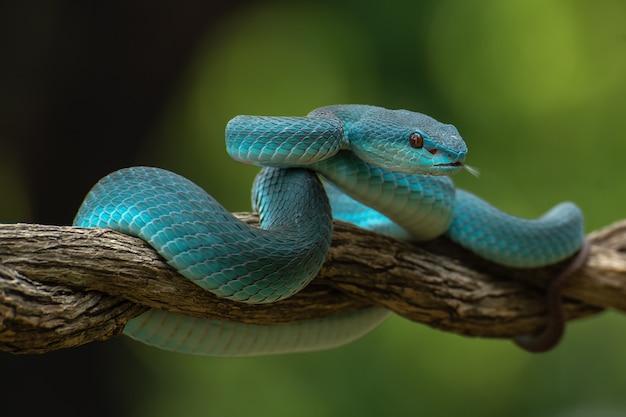 Cobra venenosa em galho de árvore