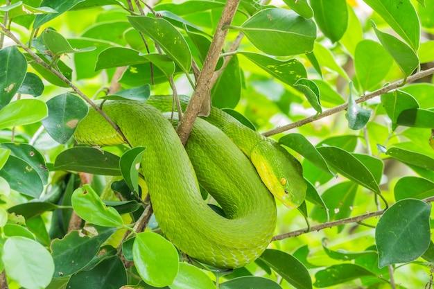 Cobra verde enrolada em uma árvore