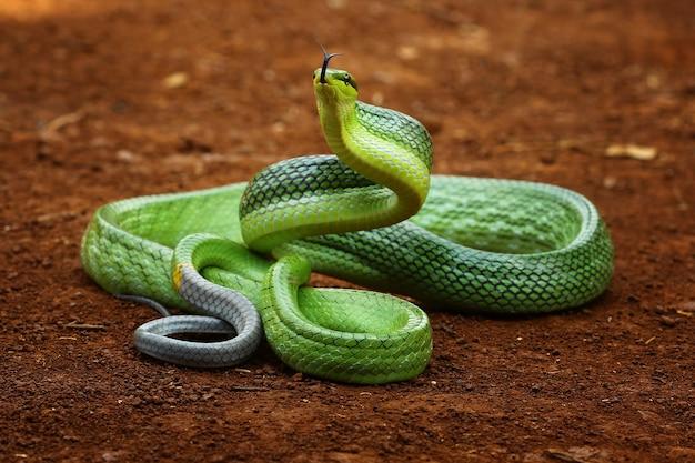 Cobra verde pronta para atacar