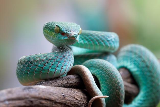 Cobra víbora azul no ramo cobra víbora azul insularis Foto Premium