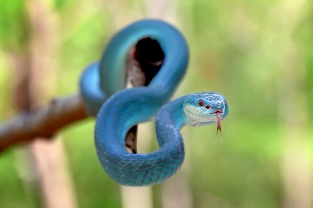 Cobras azuis da víbora insularis, trimeresurus albolabris
