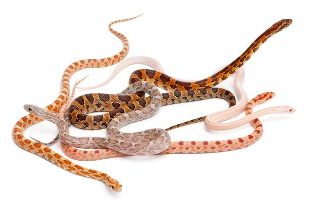 Cobras de milho sem escala, pantherophis guttatus, na frente de fundo branco