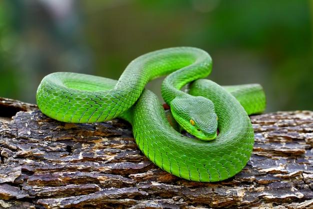 Cobras de víbora de poço verde