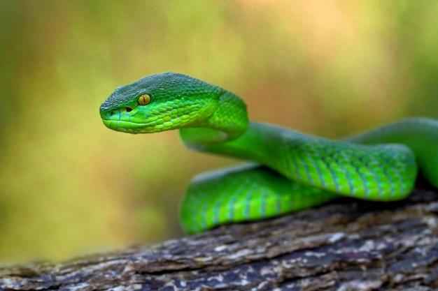Cobras de víbora insularis verdes, timreresurus albolabris