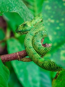 Cobras de víbora verde na selva, em habitat natural