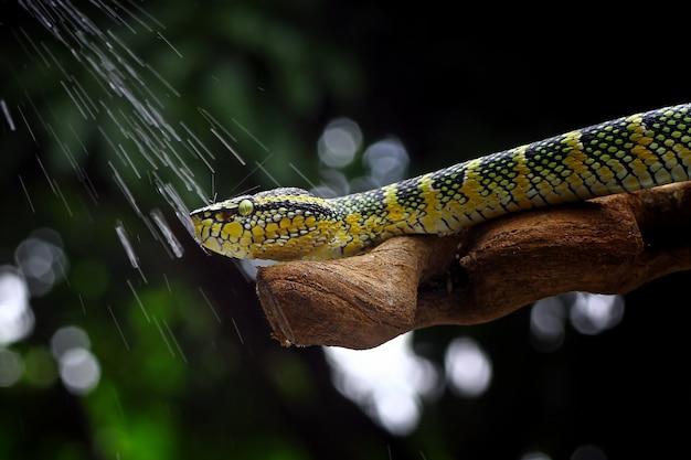 Cobras víbora wagleri tropidolaemus wagleri