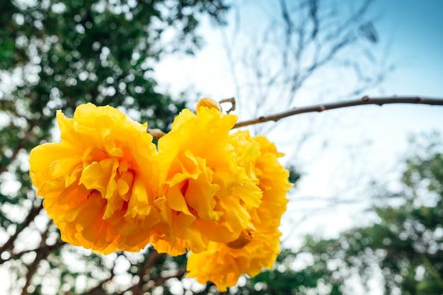 Cochlospermum regium, árvore de algodão amarelo (suphannika: thai)