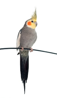 Cockatiel cinzento adulto