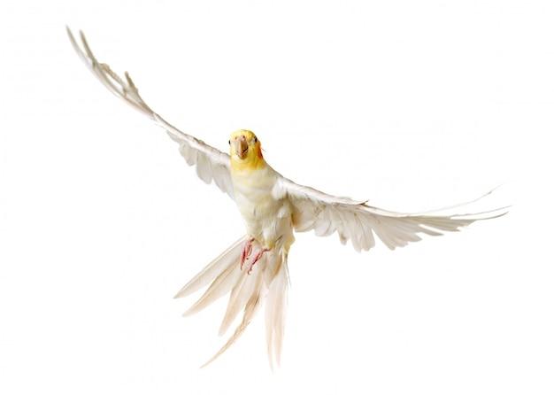 Cockatiel cinzento de voo
