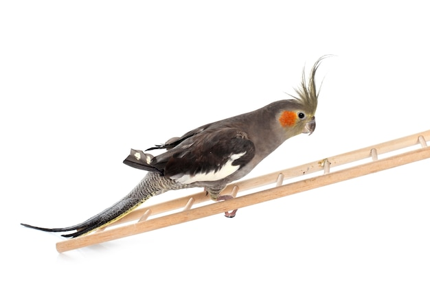 Cockatiel masculino jogando