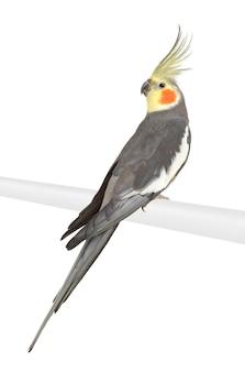 Cockatiel - nymphicus hollandicus isolado