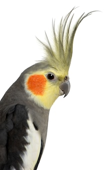 Cockatiel - nymphicus hollandicus isolado