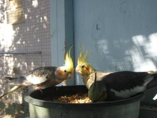 Cockatiels na hora do almoço