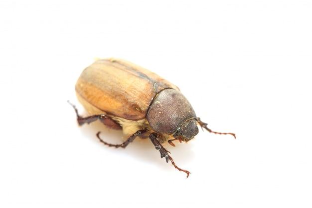 Cockchafer, bug de maio em branco