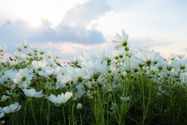 Cocmos brancos em campo com o céu no inverno.