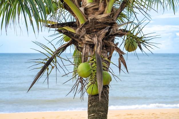 Coco em árvore na praia.