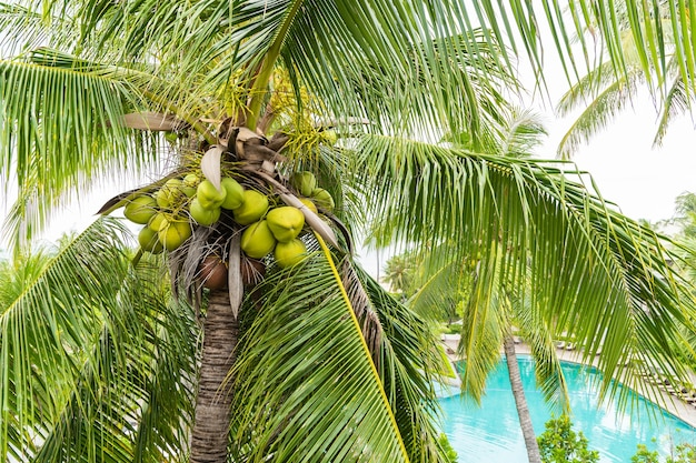 Coco fresco verde e marrom na árvore para o suco