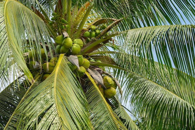 Coco na árvore. a fruta é benéfica para o corpo. vitamina alta e boa para a saúde na tailândia.