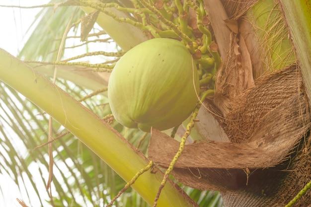 Coco verde pelo mar