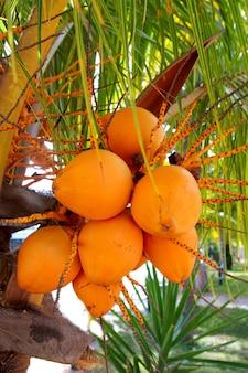 Cocos, em, árvore palma, maduro, amarela, fruta