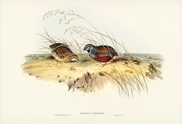 Codorna chinesa (synoicus chinensis) ilustrada por elizabeth gould