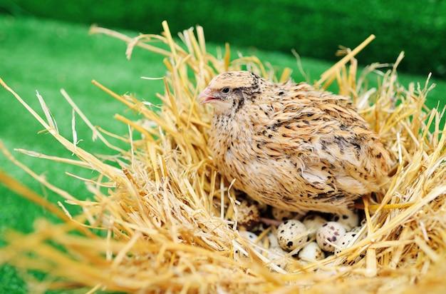 Codorna doméstica em um ninho e choca ovos de codorna