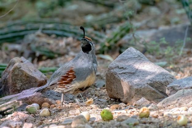 Codornizes de gambels machos no deserto do arizona