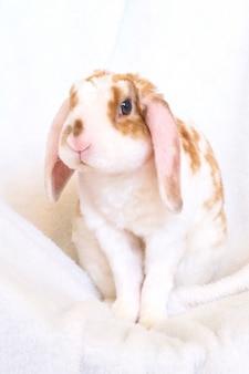 Coelhinha bonitinha de cor laranja e branca com orelhas grandes