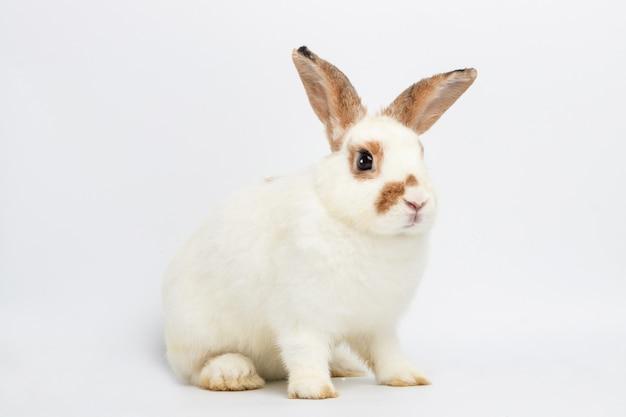 Coelhinho branco bonito com orelhas compridas sente-se no chão branco. é um vertebrado, um mamífero. conceito de páscoa. fundo branco