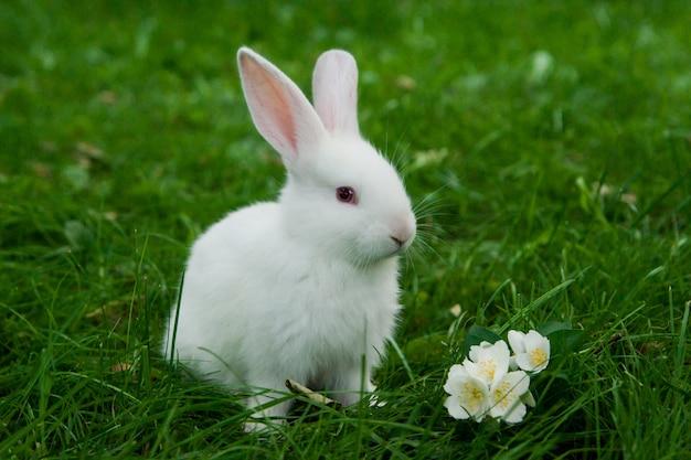 Coelhinho branco sentado na grama verde com flor de jasmim