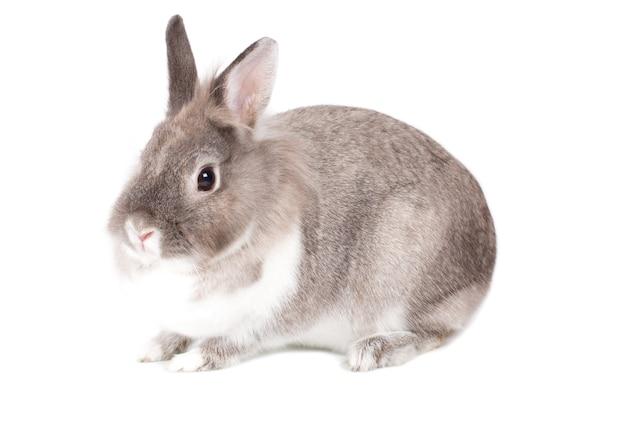 Coelhinho cinza e branco muito alerta, símbolo das tradições da páscoa, sentado em um ângulo voltado para a câmera isolado no branco