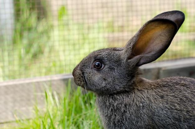 Coelhinho cinzento com 2 meses de idade, raça de flandres senta-se em um curral na grama verde. paisagem natural, foco seletivo