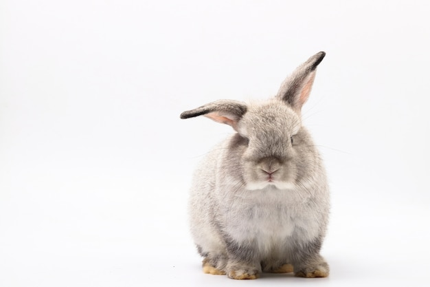 Coelhinho cinzento sentado em um branco