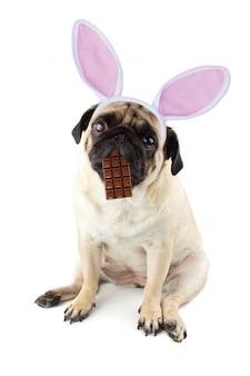 Coelhinho da páscoa. cão pug triste com chocolate na boca e orelhas de coelho.