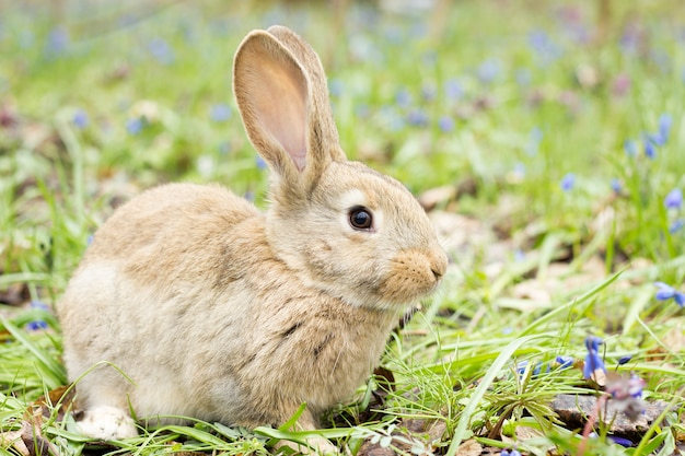 Coelhinho da páscoa em um prado de floração. lebre em uma clareira de flores azuis.