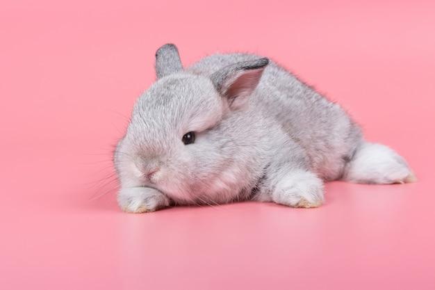 Coelho adorável cinzento do bebê no fundo cor-de-rosa. coelho fofinho.