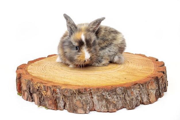 Coelho bebê fofo na serra de madeira corta pinho