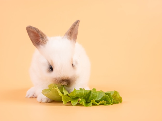 Coelho branco adorável bebê comendo repolho em fundo amarelo. coelho fofo.
